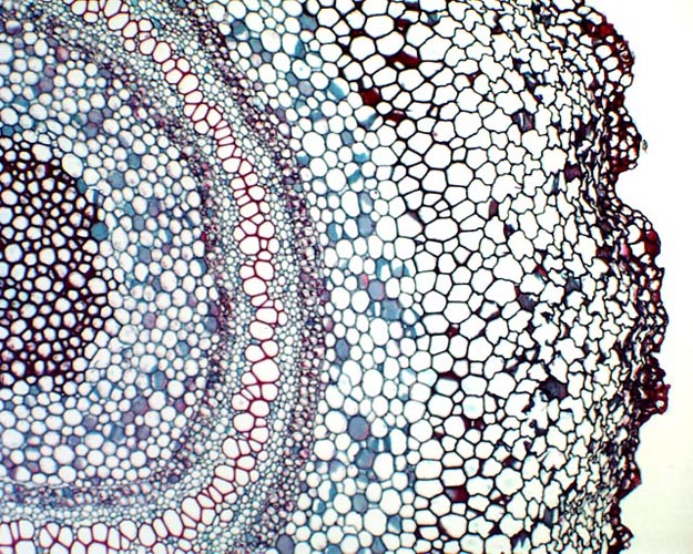 xylem and phloem. of xylem and phloem cells
